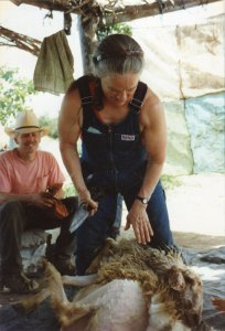 Anne Priest shearing in the Middle East