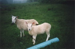 Anne Priest Bluefaced Leicester ewe and lamb