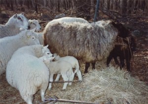 Anne Priest's first BFL ram Barney and ewes