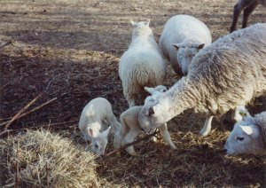 Anne Priest's first BFL ram Barney with his lambs