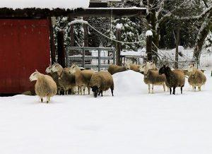 lamb-bellies