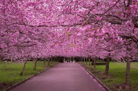 Image of 2018 SBF Macon Cherry Blossom Festival