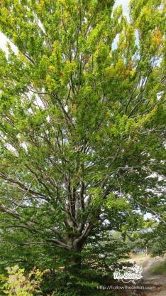 Прелестно дърво