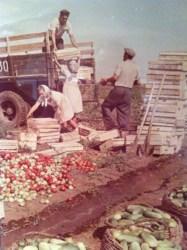 Vsevolod Tarasevich, Fruits of irrigated soil, Stalingrad province, 1950s, colour print