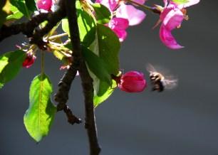 Bee pollinating apple tree (Quebec)