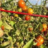 Nearly ripe cherry tomatoes