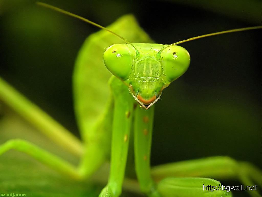 Batista Hd Wallpaper Green Praying Mantis Face Wallpaper Hd Background