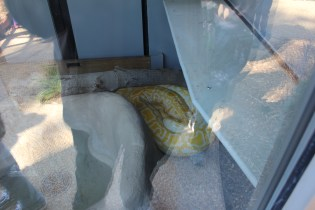 Cleopatra, the park's new 12 foot Burmese Python was in her new enclosure in the Wild Reserve