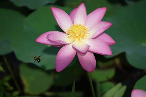 Lotus and Bee – Govinda-lilamrta