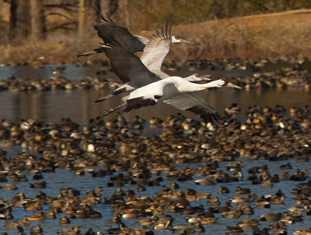 Sweet home Alabama – Whooping Cranes love our state