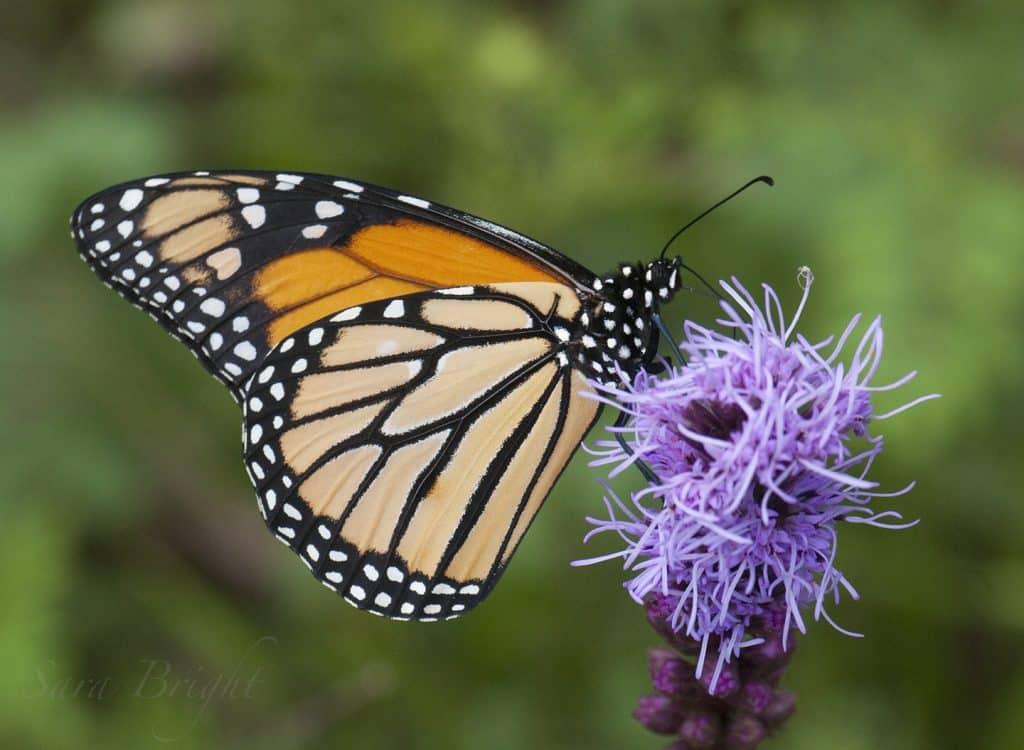 The Altamont School certified as an International Monarch Waystation