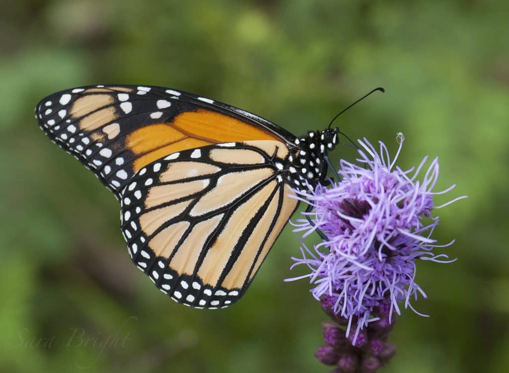 The Altamont School certified as an International Monarch Waystation