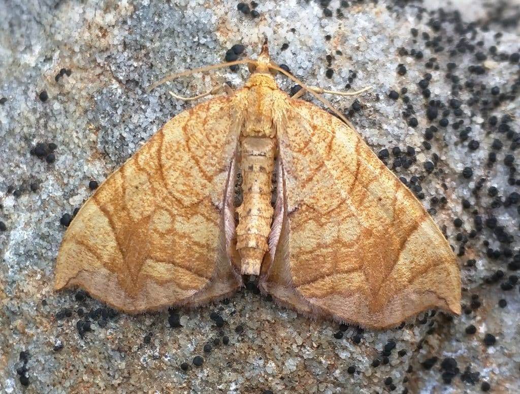 """Your Sunday morning """"Canyon Center Critter"""" – Grapevine Looper Moth"""