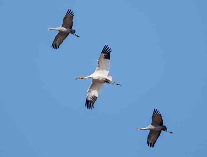 Sandhill cranes with a juvenile whooping crane in the center - photo by George Lee