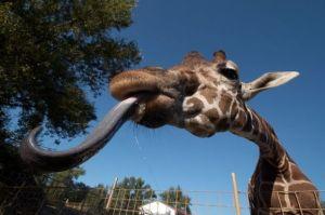 Birmingham Zoo, Giraffe