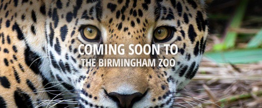 Birmingham Zoo Jaguar