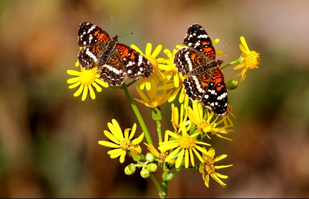 The Alabama Butterfly Atlas website was launched today and it is beautiful