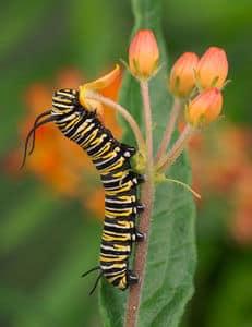 Alabama Butterfly Atlas - catepillar - Birmingham Alabama