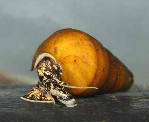Snail Alabama