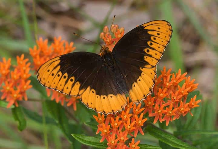 The Alabama Butterfly Atlas needs your help! (9 beautiful images)