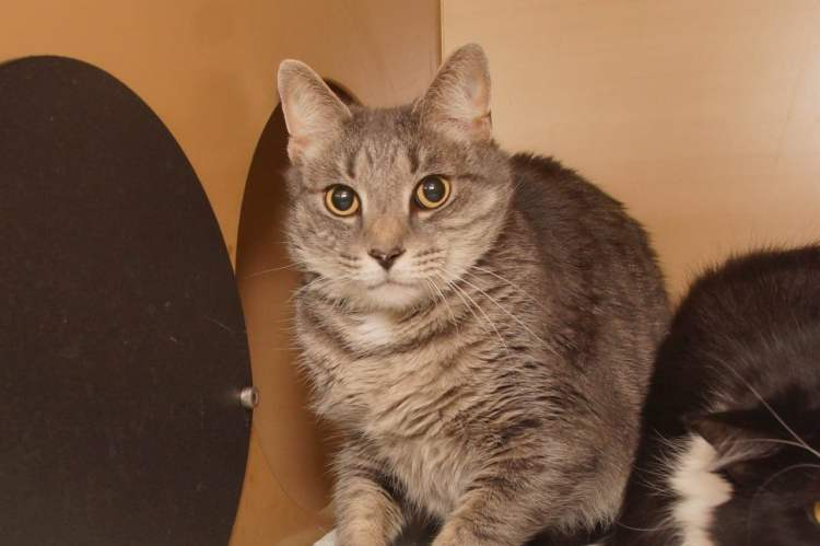 Adorable and Adoptable Pet of the Week cats The Greater Birmingham Humane Society Birmingham aL Bham Now Grey Boy