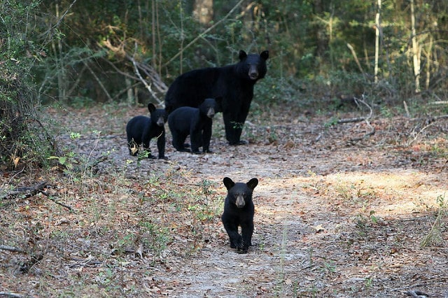 North Alabama bear population has doubled in four years