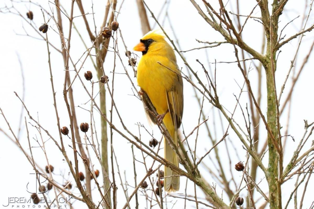 Rare Yellow Cardinal in Alabaster has captured the hearts of Alabamians this week