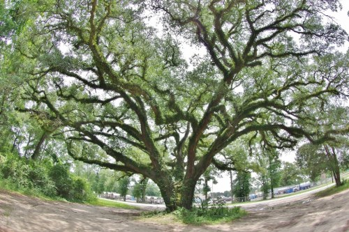 Alabama Oaks