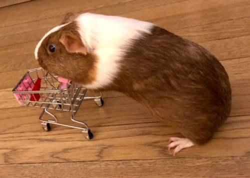 Bham Now Guinea Pig