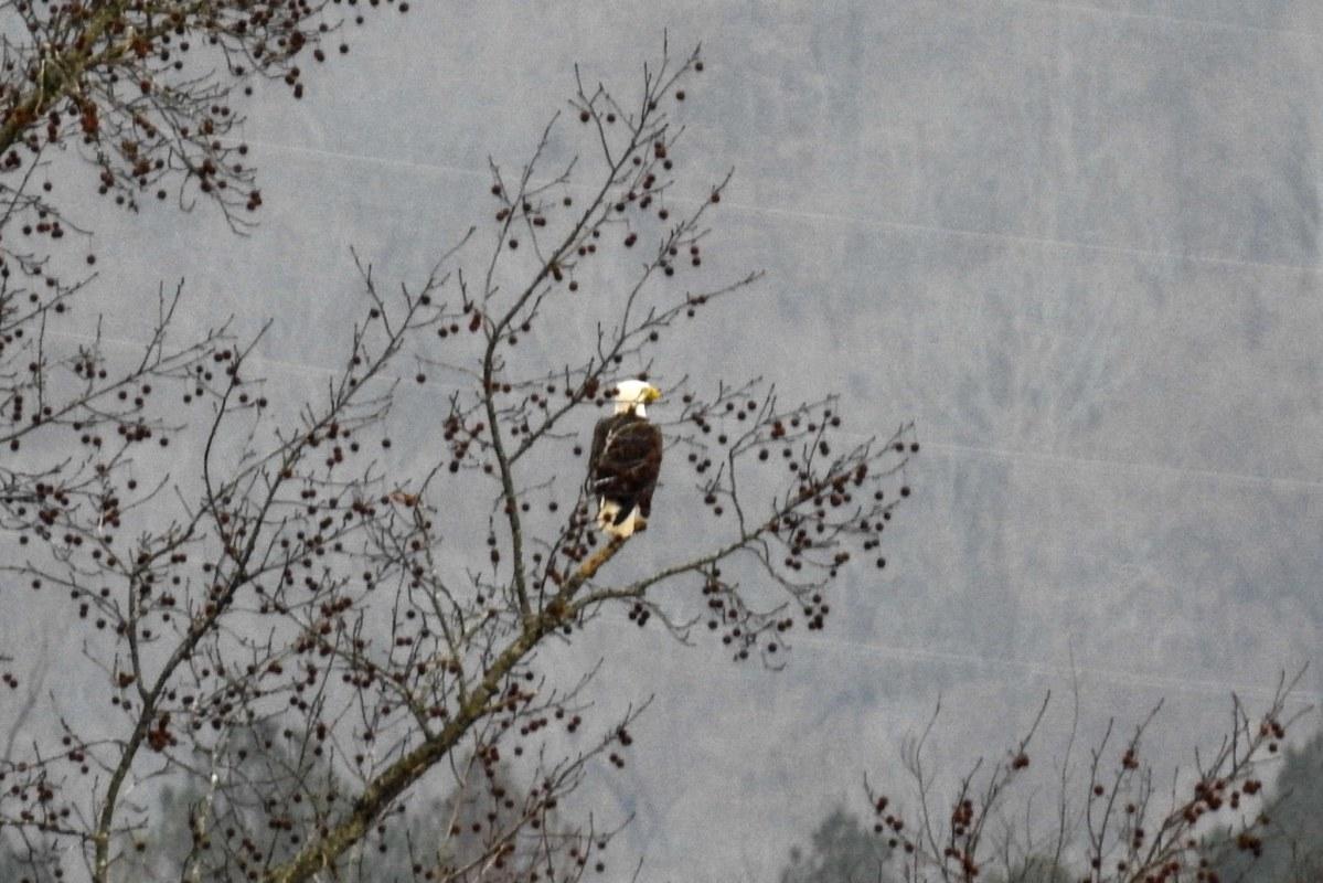 Guntersville Area Audubon Christmas Bird Count (NABT)