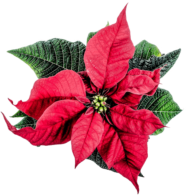 Birmingham, Alabama, holiday poison safety, Children's of Alabama Regional Poison Control Center, poinsettia, nontoxic