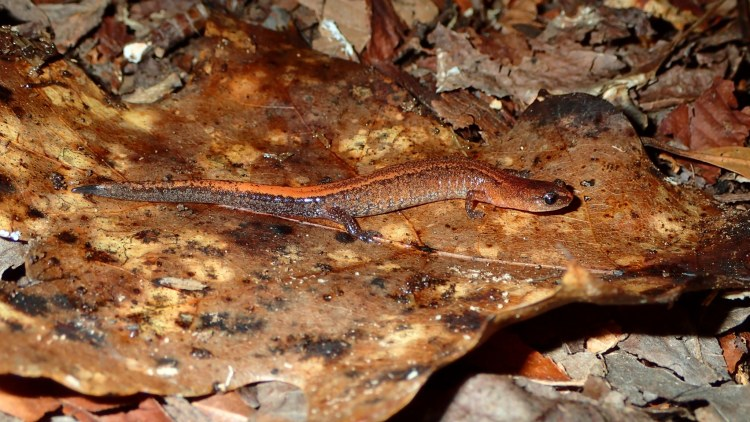Webster's Salamander