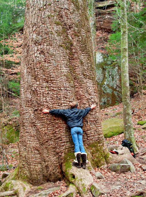 Sipsey Wilderness Big Tree