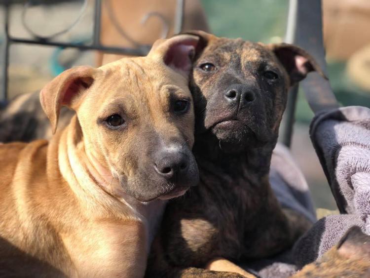 Birmingham, Bama Bully Rescue