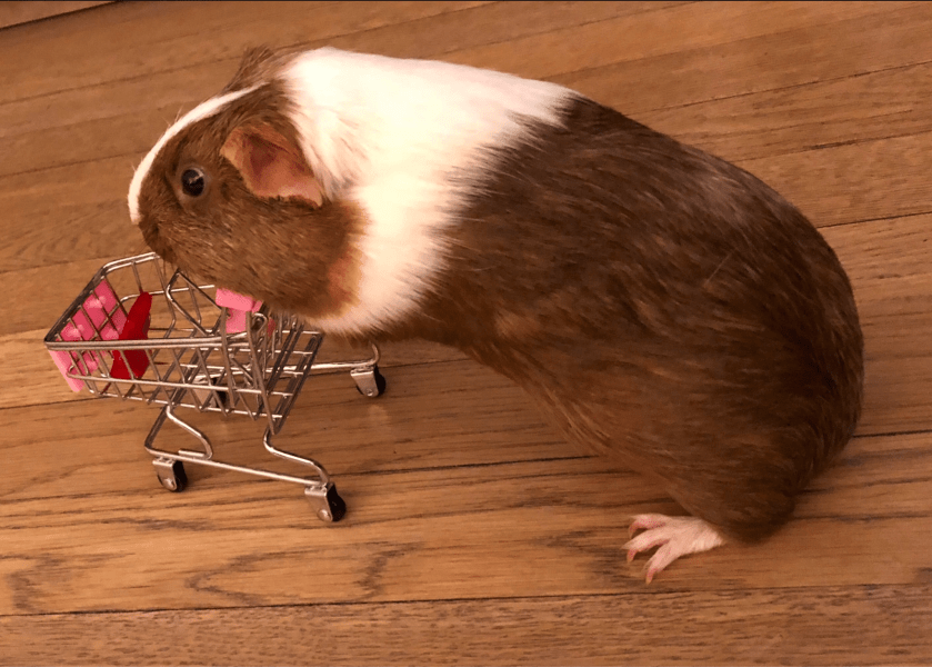 Petunia the guinea pig making some serious purchases with her shopping cart.