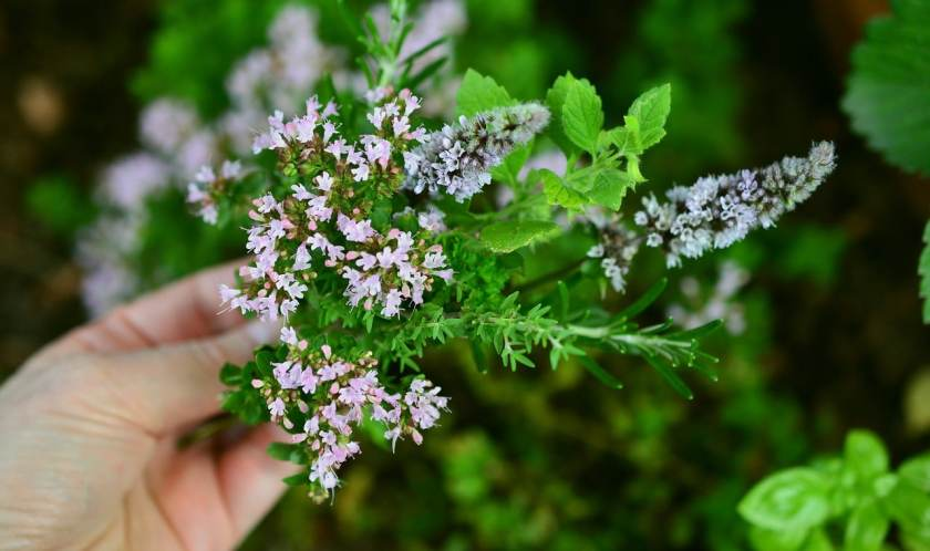 Photo shows a hand holding a bundle of flowering thyme and mint.