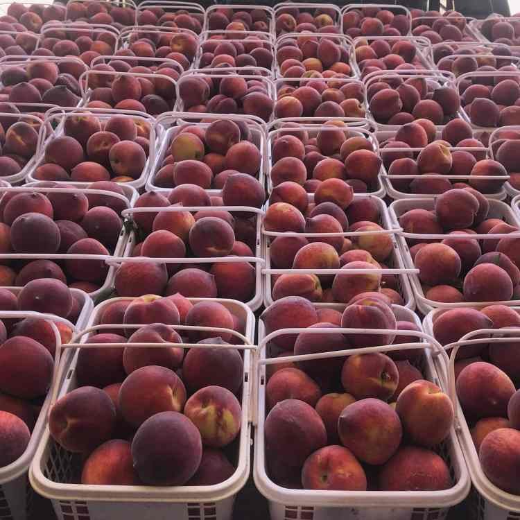 Peaches at a u-pick farm near Birmingham