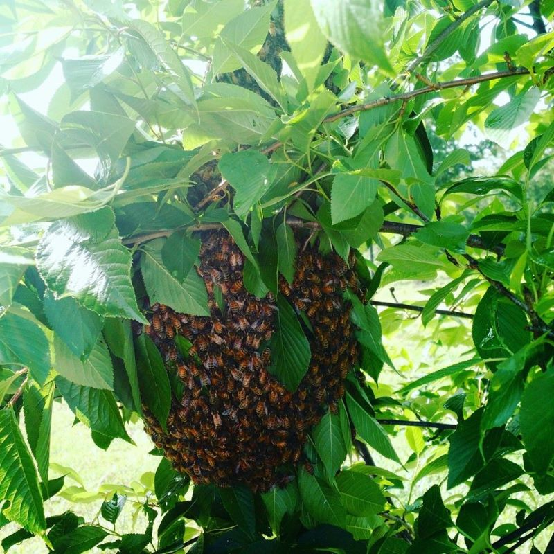A swarm - call a beekeeper to see who can help remove it. Don't spray.