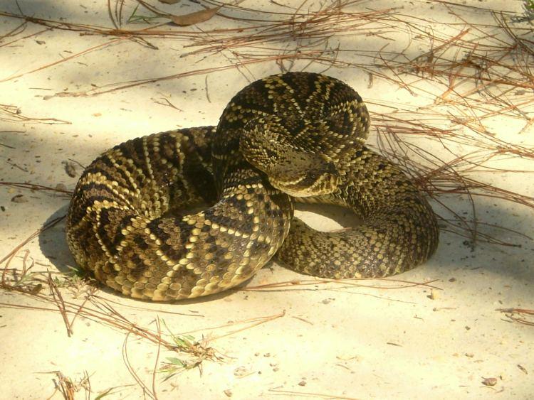 Alabama's 6 venomous Snakes