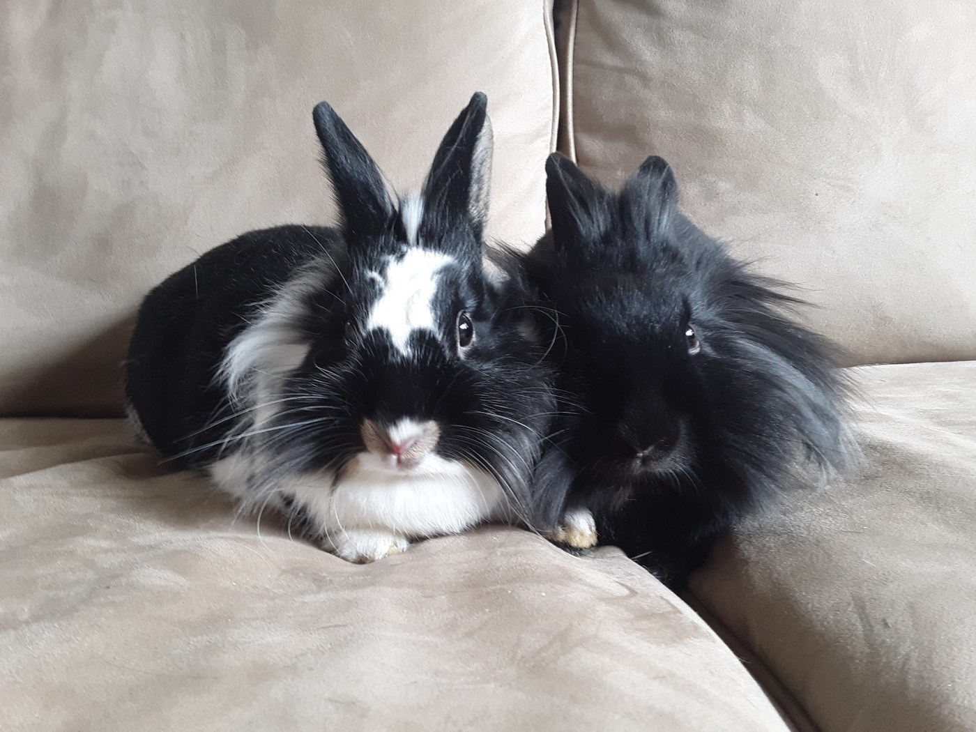 Two black and white bunnies sit on a couch.