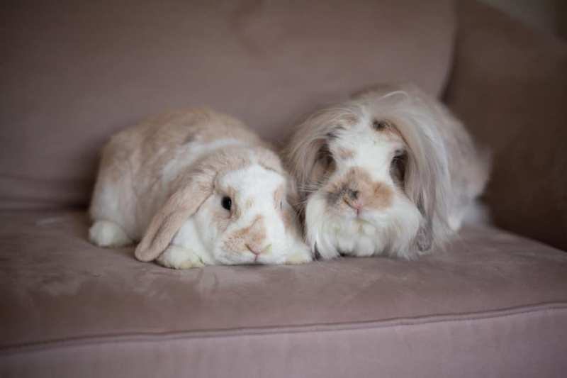 Two Birmingham bunnies sit on a couch beside each other.