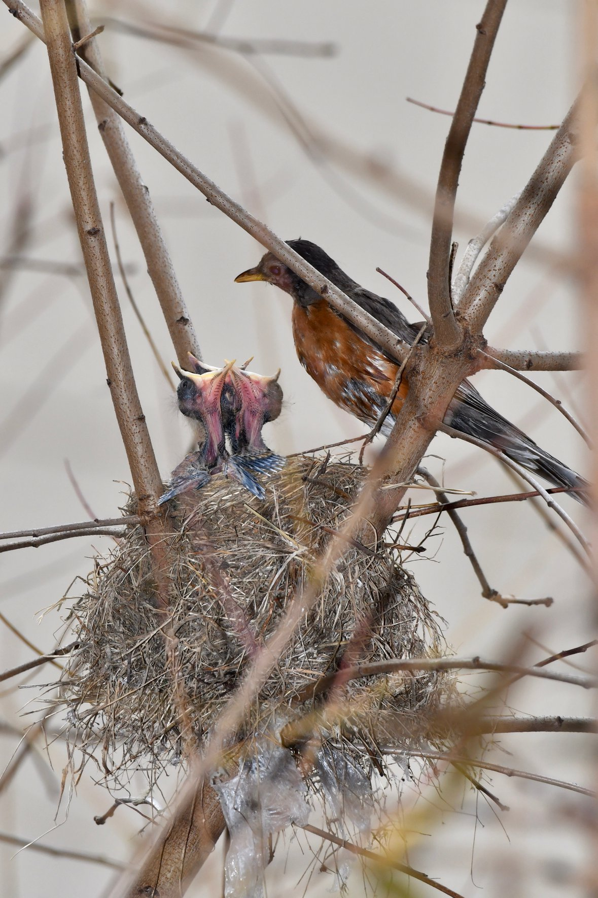 """Birding expert discovers """"Thanksgiving miracle"""" at UAB. Latest confirmed robin nesting in Alabama."""