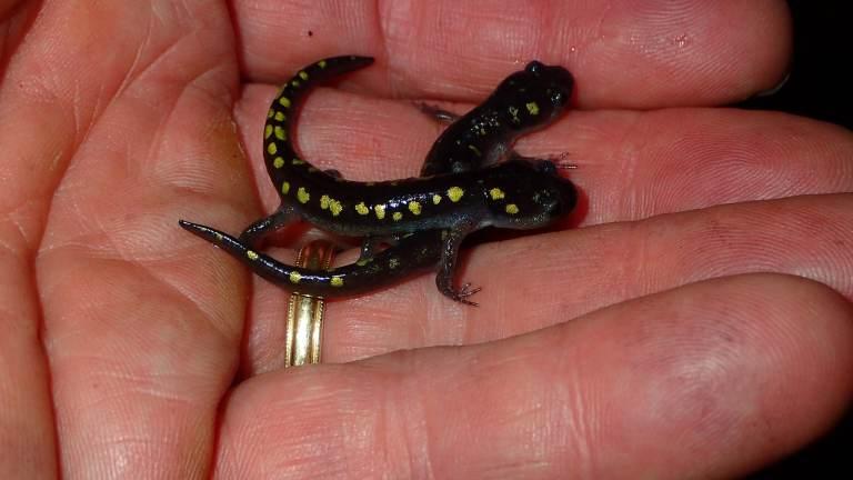 Birmingham, salamanders, Salamander Festival, Shades Valley Community Church, salamander migration, Homewood