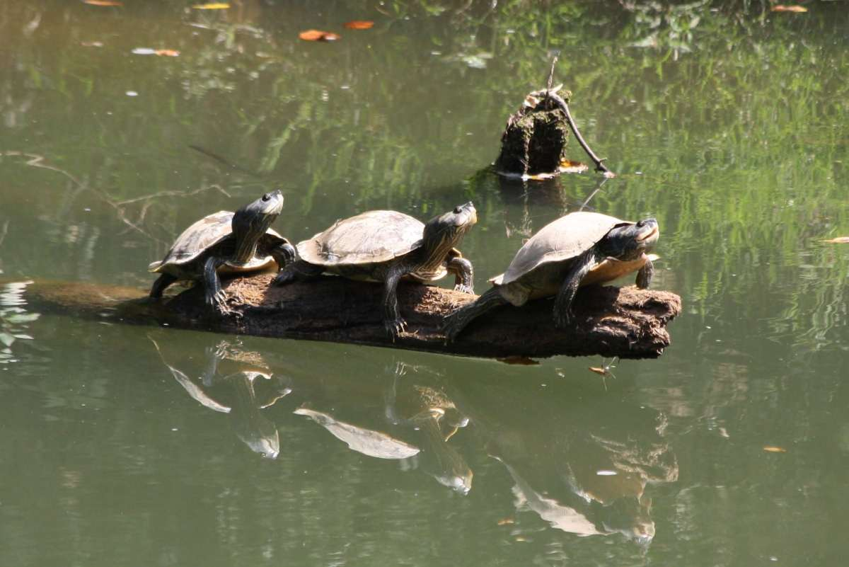 "How and where in Birmingham to watch turtles ""basking"" in the sun on World Turtle Day"