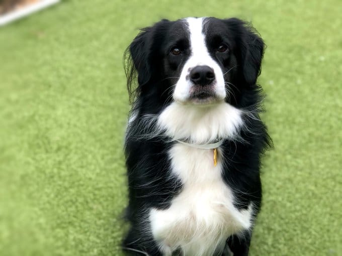 A black and white middle-sized dog