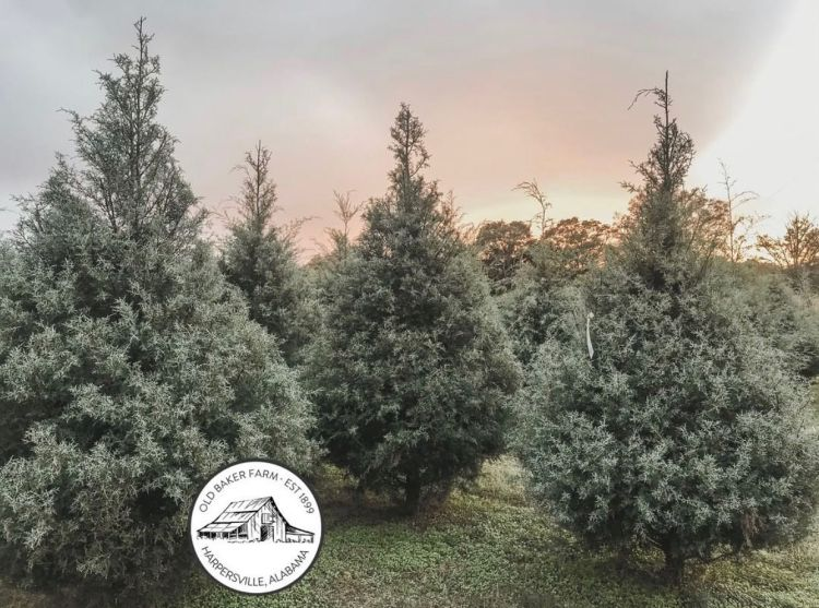 Frosted Christmas trees