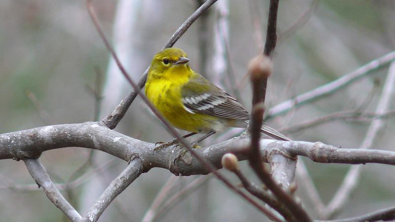 Pine warbler sitting on a branch at the Cahaba River National Wildlife Refuge