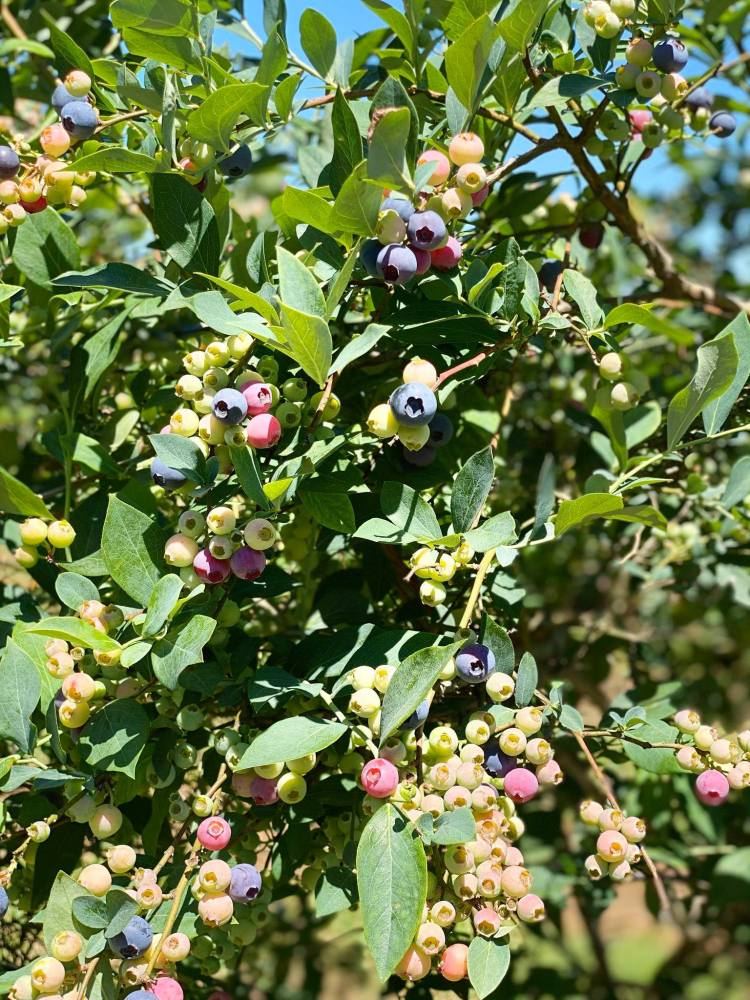 wadsworth , u-pick blueberry farms