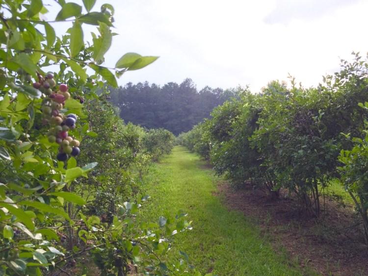 lyons blueberry, u-pick blueberry farms