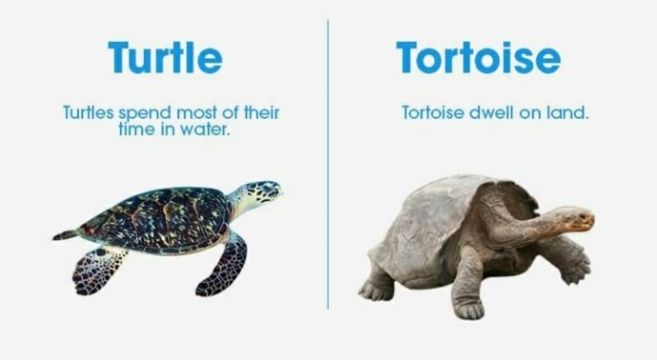 what is difference between turtle and tortoise